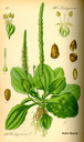 Plantago_major_bd4_tafel_072