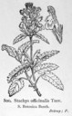 Stachys_officinalis